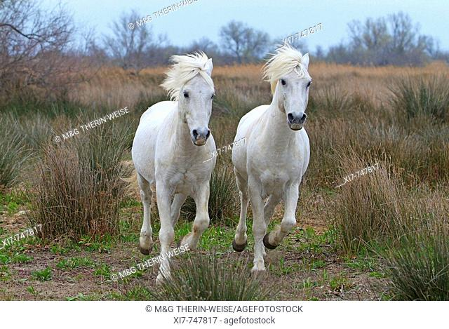 Camargue Horses – Stallions; Camargue ; Bouches du Rhône ; France ; Chevaux de Camargue – Etalons ; Camargue ; Bouches du Rhône ; France ; Camargue Pferd –...
