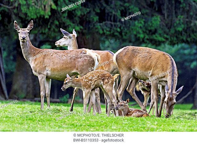 red deer (Cervus elaphus), females with calves, Germany, Bavaria