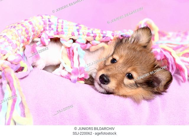 Shetland Sheepdog. Puppy (6 weeks old) lying under a multicolored blanket. Studio picture against a pink background