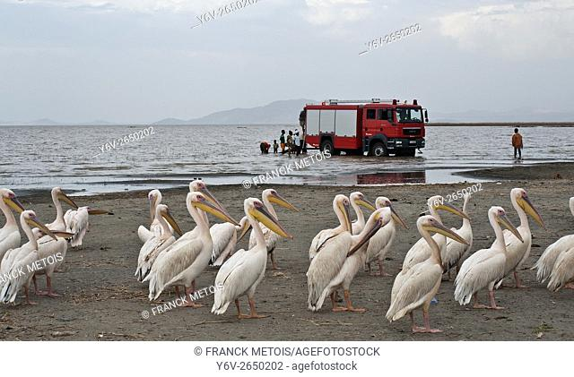 Pelicans + fire truck in the background. Lake Ziway ( Oromiya state, Ethiopia)