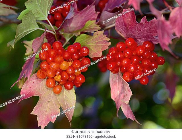 European Cranberry Bush, Snowball Tree, Guelder Rose (Viburnum opulus). Twig with ripe berries in autumn, Germany