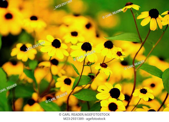 Brilliantly bright black-eyed susans in soft-focus, Pennsylvania, USA