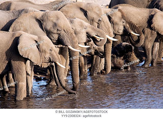 African Elephant (Loxodonta africana) at Chudob Waterhole- Etosha National Park - Namibia, Africa
