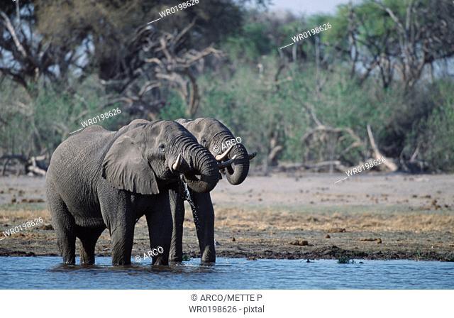 African, Elephants, Moremi, Game, Reserve, Botswana, Loxodonta, africana