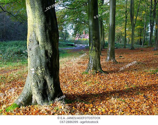 Beech Fagus sylvatica Autumn Leaves