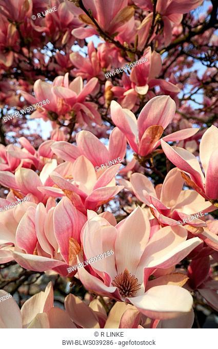 saucer magnolia Magnolia x soulangiana, Magnolia soulangiana, Magnolia x soulangeana, Magnolia soulangeana, flowers