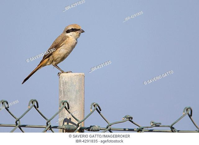 Isabelline Shrike (Lanius isabellinus), adult perched on a fence post, Sur, Muscat Governatorate, Oman