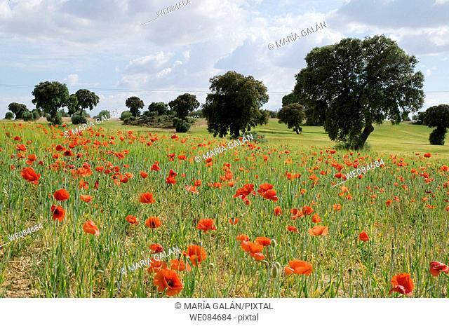 Poppy field and holm oaks. Cuenca province, Castilla La Mancha, Spain