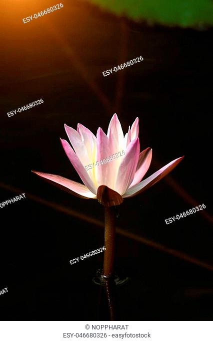 Close up of water lily flower in dark background