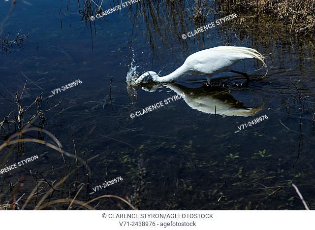 Great Egret (Ardea alba) Fishing in Canal in Ocean Sands near Corolla NC USA