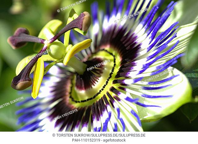 A flowering blue passionflower (Passiflora caerulea) on a beautiful day in early autumn in the Bible Garden in Schleswig