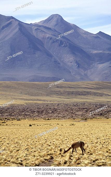 Chile, Antofagasta Region, Atacama Desert, Andes Mountains, vicuna, vicugna vicugna,