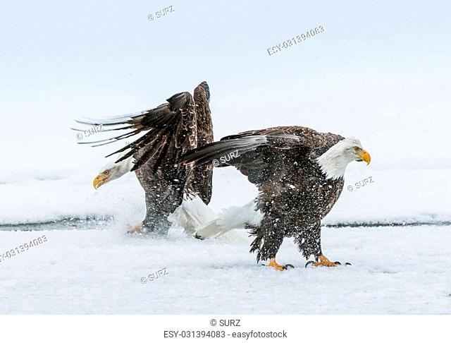 Bald Eagles (HALIAEETUS LEUCOCEPHALUS) fly up from snow and fighting. Alaska