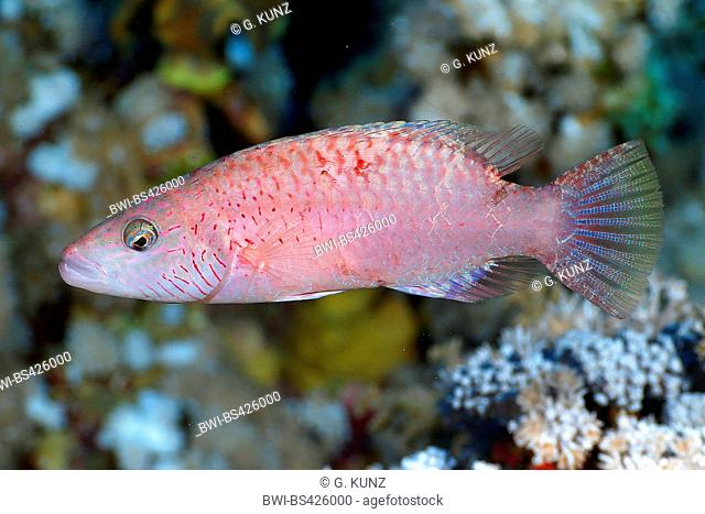 Cheek-lined wrasse (Oxycheilinus digrammus), at coral reef, Egypt, Red Sea