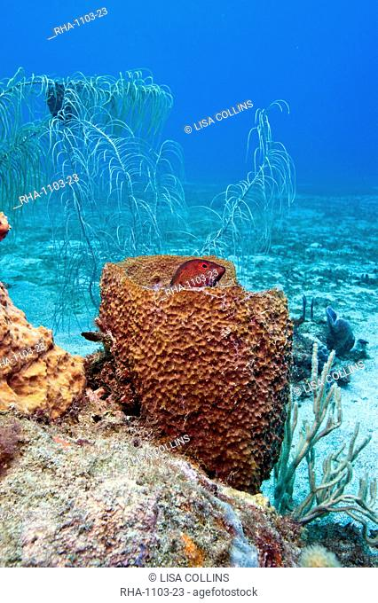 Coney Cephalopholis fulva, in a barrel sponge, St. Lucia, West Indies, Caribbean, Central America