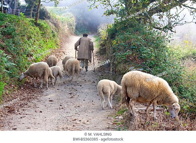 Way of St. James, old shepherd with his herd in morning mist on the way from Fontearcuda to Furela, Spain, Galicia, Lugo