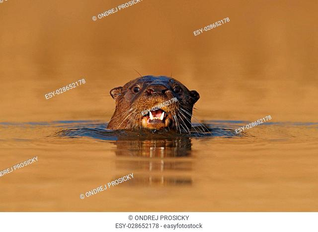 Giant Otter, Pteronura brasiliensis, portrait in the river water