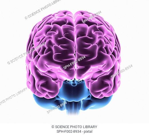 Brain. Computer artwork of a frontal view of a healthy human brain. At top are the left and right hemispheres of the cerebrum