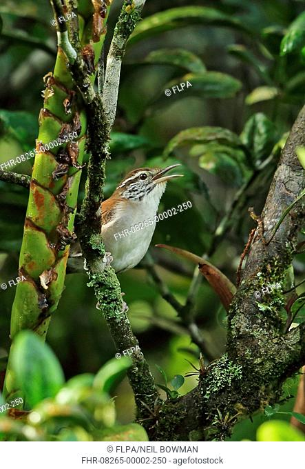 Rufous-and-white Wren (Thryophilus rufalbus skutchi) adult, singing, perched in orange tree, El Valle, Panama, October