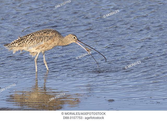 Central America, Mexico, Baja California Sur, Guerrero Negro, Ojo de Liebre Lagoon (formerly known as Scammon's Lagoon), Long-billed curlew (Numenius...