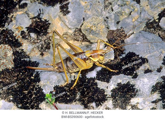 Pyrenean bushcricket, Apuan Mountain Bush-cricket (Antaxius pedestris), female on a stone