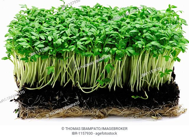Cress with soil