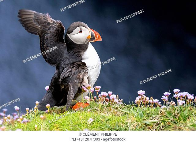 Atlantic puffin (Fratercula arctica) in breeding plumage flapping wings on sea cliff top in seabird colony, Scotland, UK