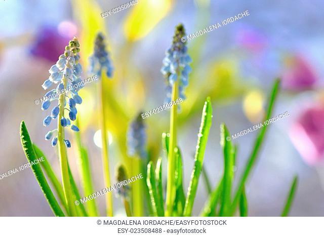 Muscari neglectum flowers in the spring garden