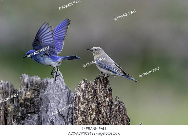 The powder-blue male and Female Mountain Bluebird ( Sialia currucoides ).Hayden Valley,Yellowstone National Park, USA