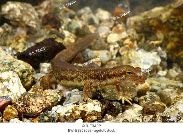 Corsian brook salamander, Corsican mountain newt (Euproctus montanus), male under water, France, Corsica, Col de Bavella