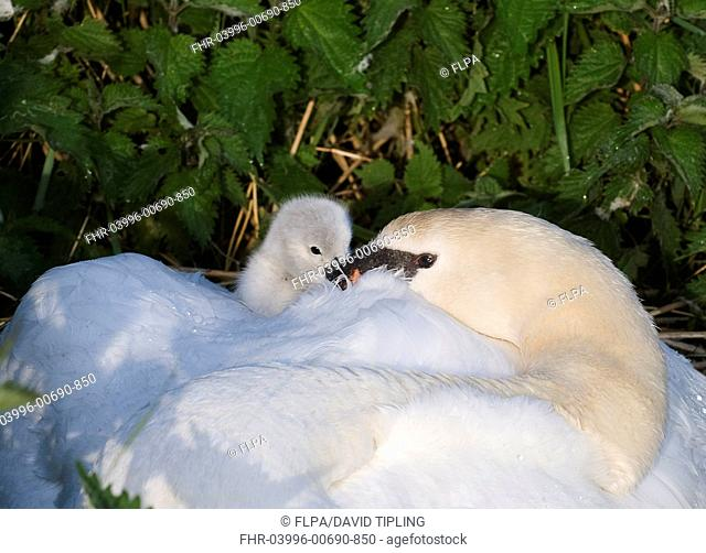 Mute Swan Cygnus olor adult, brooding day-old cygnet at nest, Cley, Norfolk, England, may