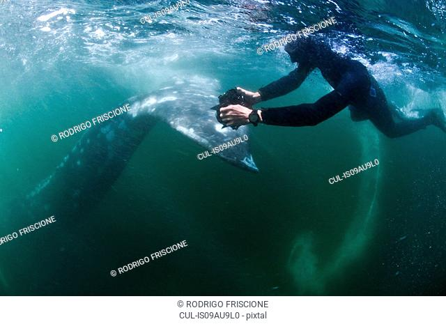 Underwater view of freediver photographing tail of grey whale, Magadalena bay, Baja California, Mexico