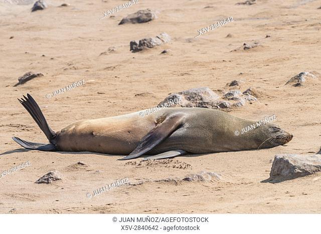 Cape Fur Seal (Arctocephalus pusillus). Cape Cross Seal Reserve. Skeleton Coast National Park. Namibia. South Africa