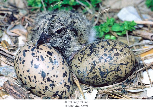 Oystercatchers (Haematopus sp.) hatching out