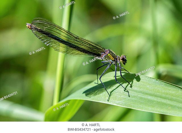 banded blackwings, banded agrion, banded demoiselle (Calopteryx splendens, Agrion splendens), female on a leaf, side view, Germany, Bavaria