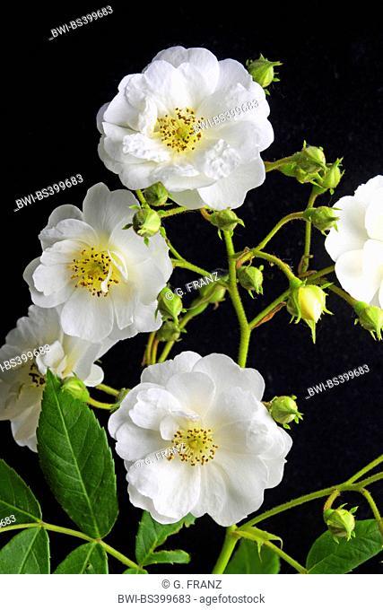 ornamental rose (Rosa 'Rambling Rector', Rosa Rambling Rector), cultivar Rosa Rambling Rector