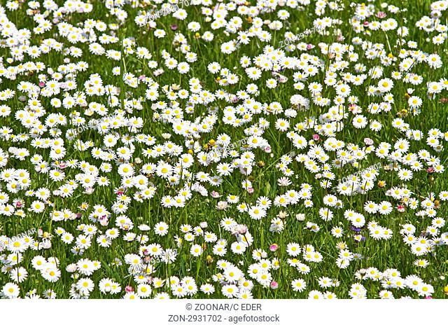 Gänseblümchenwiese - Frühlingsgefühle pur