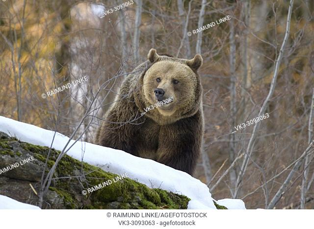 Brown bear, Ursus arctos, in winter, Germany