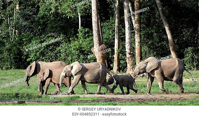 African Forest Elephants  Loxodonta cyclotis