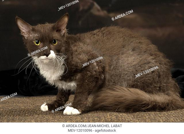 White and chocolate LaPerm cat indoors