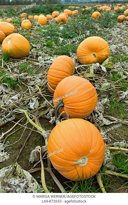 Pumpkins on a field ready for harvest  Schleswig-Holstein  Germany