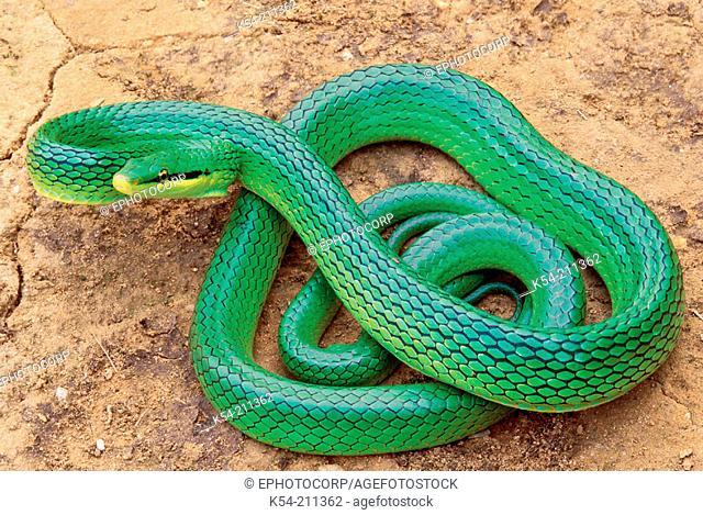 Khasi Hills Trinket snake (Elaphe frenata). Non venomous. Rarely available. Arunachal Pradesh, India