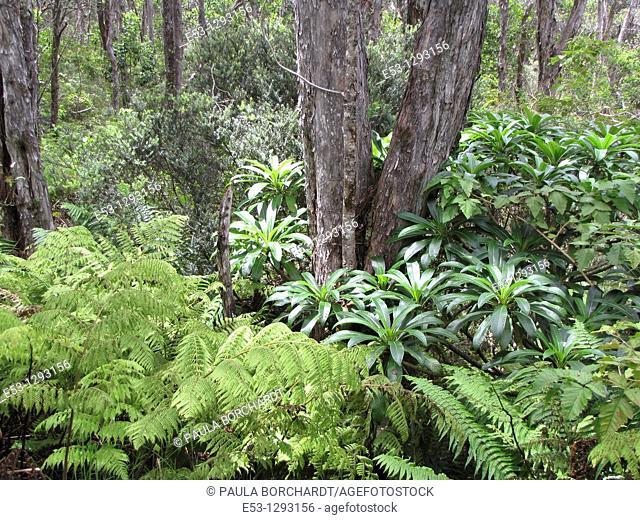 Ferns and trees, Hakalau Forest National Wildlife Refuge, Big Island, Hawaii, USA