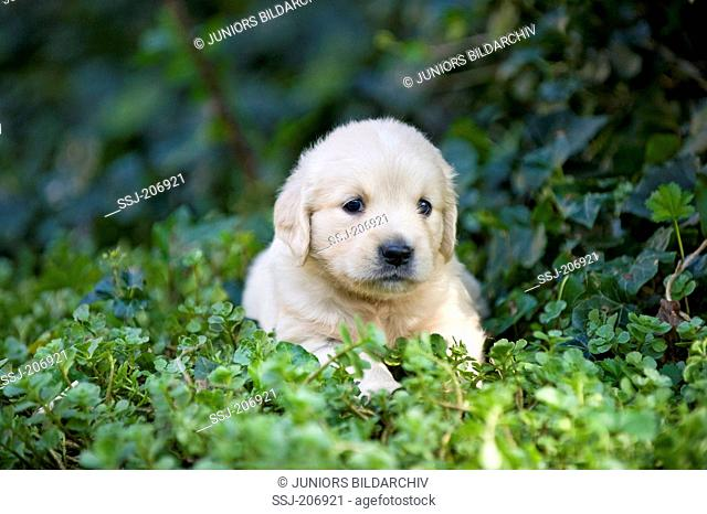 Golden Retriever. Puppy (4 weeks old) lying in a garden next to Ivy. Germany