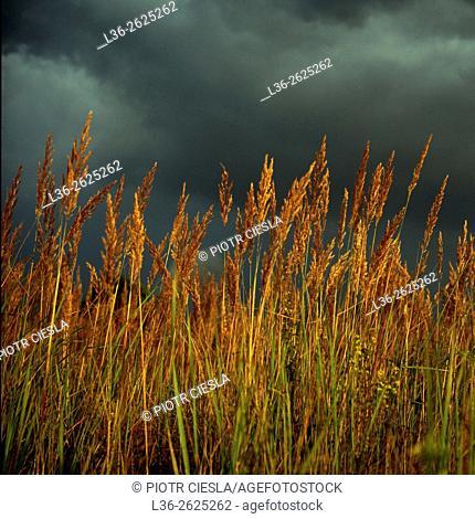 Wild grass. Before a storm. Poland