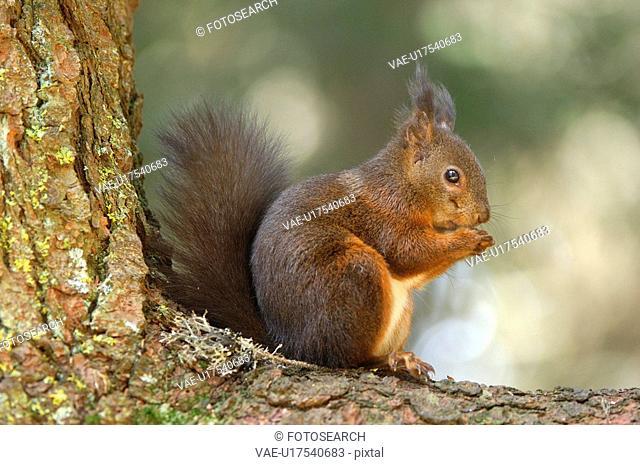 hoernchen, animal, eat, eichkatze, forest, gnawer, huwiler