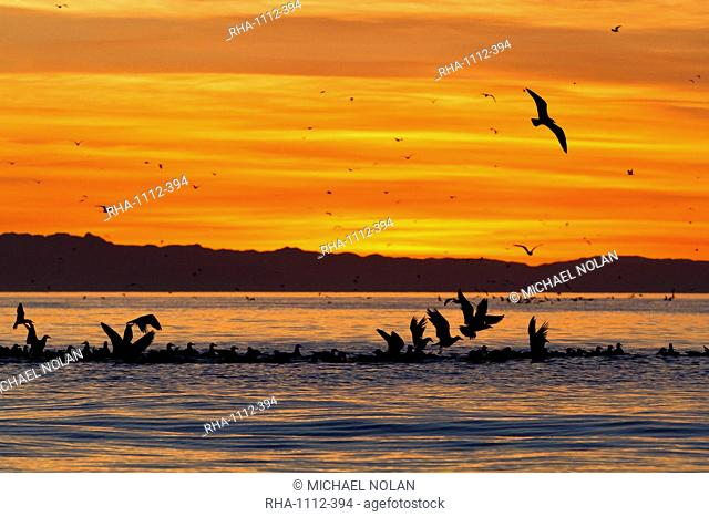 Sunrise, Isla Rasa, Gulf of California Sea of Cortez, Baja California, Mexico, North America