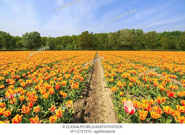 View of the colorful fields of tulips in spring Keukenhof Park Lisse South Holland Netherlands Europe