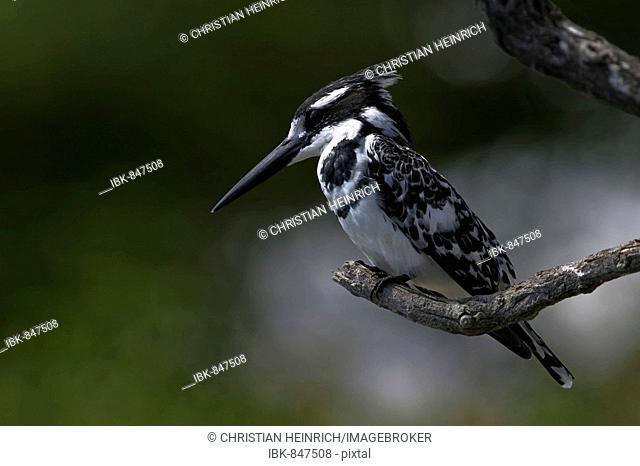 Pied Kingfisher (Ceryle rudis), Chobe River National Park, Botswana, Africa