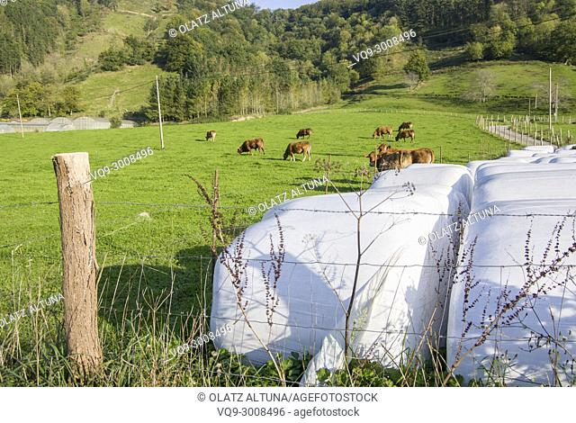 Plastic wrapped round silage bales in field and cows grazing, Nuarbe, Gipuzkoa, Basque Country, Spain